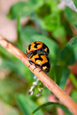 Ladybirds mating — Stock Photo