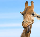 Giraffe looking stupid — Stock Photo