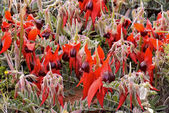 Sturts desert pea — Stock Photo
