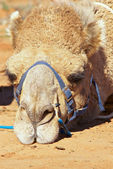 Sulking camel — Stock Photo