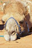 Sulking camel — Stock Photo