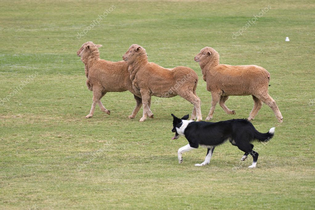 A working sheep dog (border collie)rounding up sheep at a sheepdog trial — Stock Photo #1244973