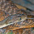 Tiger snake - Stock Photo