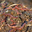 Garden worms — Stock Photo