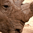 Rhino close up — Stock fotografie