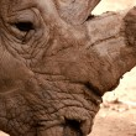 Rhino close up — Stock Photo #1430901