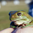 Big old frog - Stock Photo