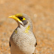 Stock Photo: Noisy miner