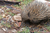 Australian echidna anteater — Stock Photo