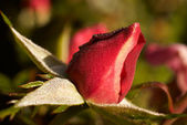 Rosebud in the dew — Stock Photo