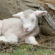 Young lamb on the farm — Stock Photo #1800072