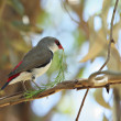 Diamond firetail finch with branch — Stock Photo