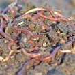 Garden worms — Stock Photo #1832766