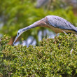 Stock Photo: White faced heron on a hedge