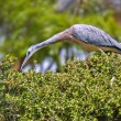 Stock Photo: White faced heron on hedge