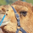 Royalty-Free Stock Photo: Funny camel face