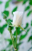 単一の白いバラ — ストック写真