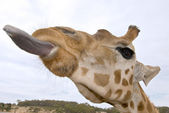 Giraffe up close with tongue — Stock Photo