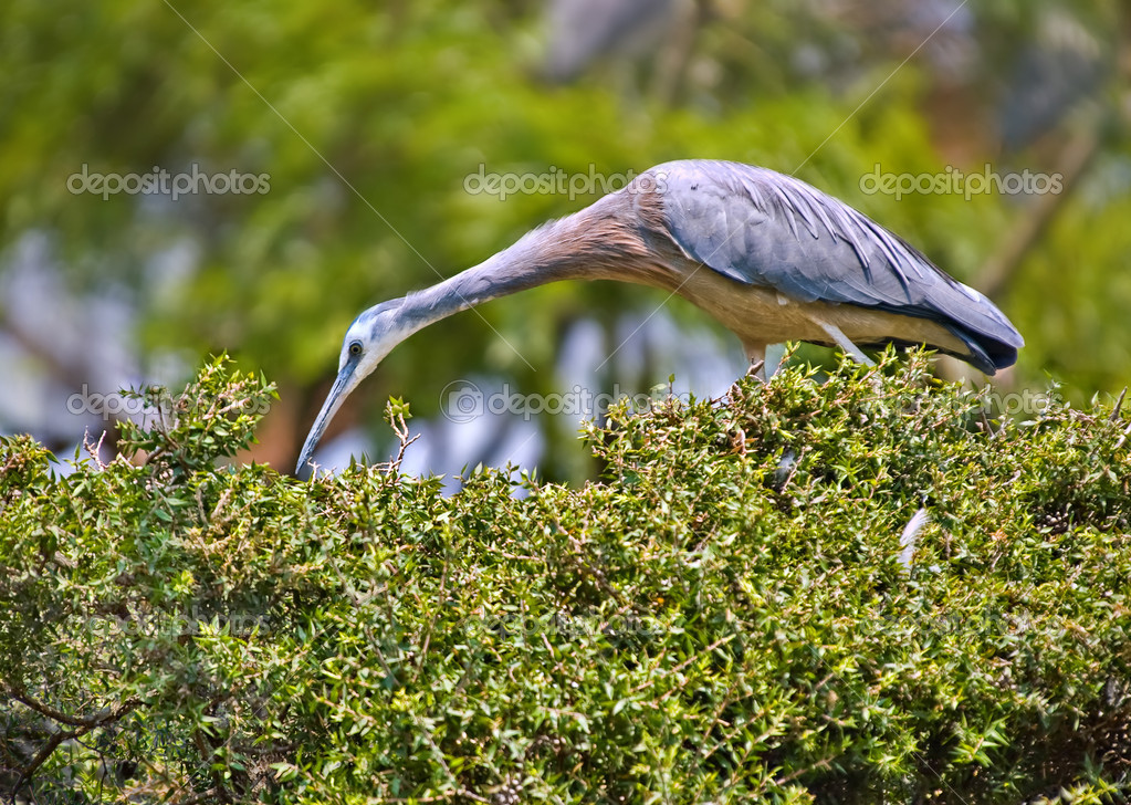 A white faced heron picks for food on top of a hedge   #1832971