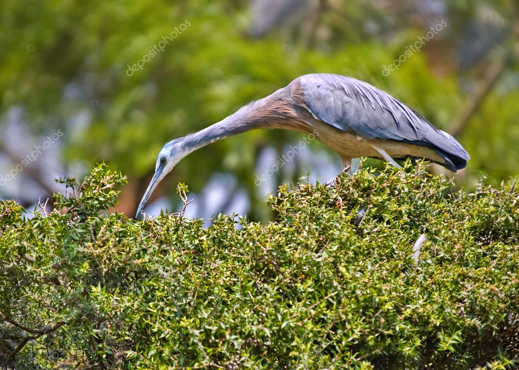 A white faced heron picks for food on top of a hedge  Stock Photo #1832971