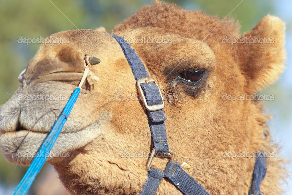 Funny closed nose and mouth of an African camel dromedary face — Stock Photo #1832981