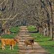 Cows in the road — Stock Photo #1848532