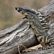 Lace monitor with head raised — Stock Photo