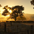 Stock Photo: Early Morning Cattle