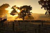 Early Morning Cattle — Foto Stock