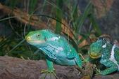 Iguanas verdes — Foto de Stock