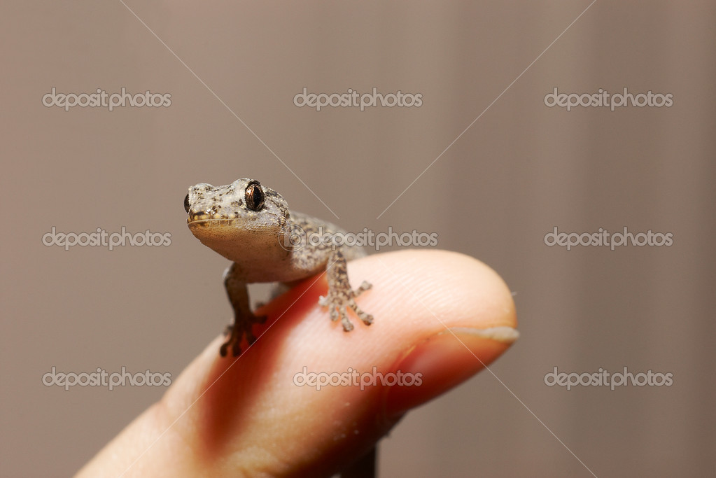 A tiny marbled gecko is perched on the end of a finger  Stock Photo #1849060