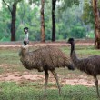 Two emus — Stock Photo