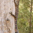 Goanna up a tree — Stock Photo