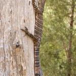 Goanna up a tree — Stock Photo #1866093