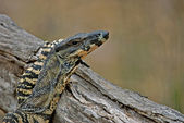 Goanna resting on log — Stock Photo