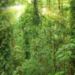 Stock Photo: Sunshine in rain forest