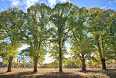 Five tall trees — Stock Photo