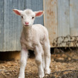 Stock Photo: Young lamb on the farm