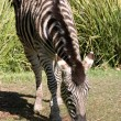 Zebra eating grass at adelaide zoo - Stock Photo