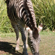 Stock Photo: Zebra eating grass at adelaide zoo