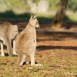Shunned kangaroo — Stock Photo