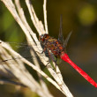 Red dragonfly — Stock fotografie