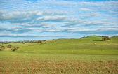 овца в поле — Стоковое фото