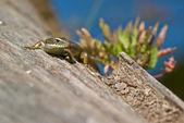 Lizard on log — Stock Photo