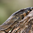 Tired goanna — Stock Photo