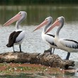 Pelican watchers — Stock Photo