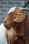 Goat close up — Stock Photo