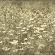 Grunge field of daisies — Stock Photo