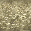 Stock Photo: Grunge field of daisies