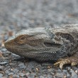Stock Photo: Bearded dragon